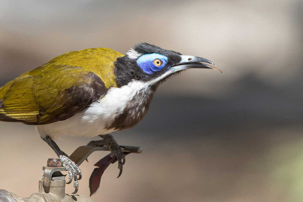 Blauohr-Honigfresser, Blue-faced Honeyeater, Entomyzon cyanotis - 2
