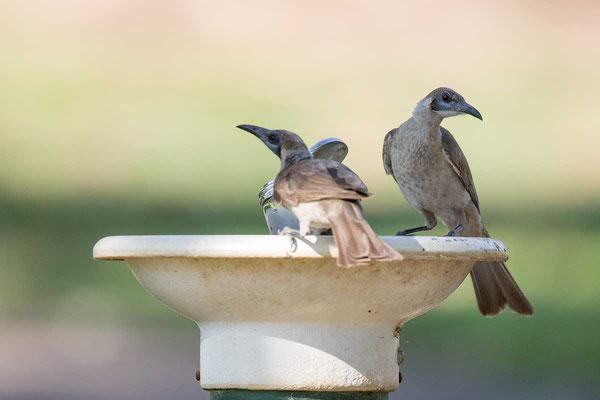 Glattstirn-Lederkopf, Little Friarbird, Philemon citreogularis - 3