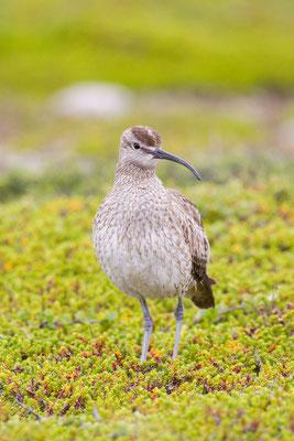 Regenbrachvogel (Numenius phaeopus) - 1