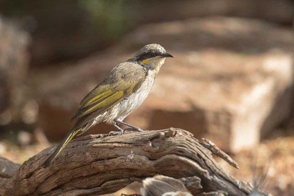 Pfeifhonigfresser Singing Honeyeater - Gavicalis virescens - 3