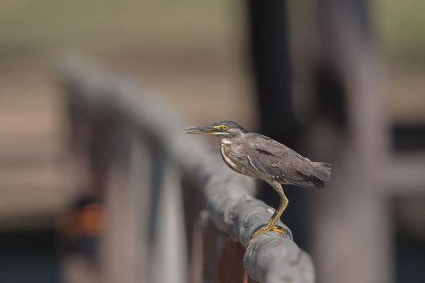 Mangrovereiher (Butorides striata) - Striated heron - 2