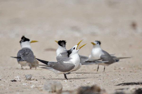 Eilseeschwalbe (Thalasseus bergii) - Greater crested tern - 5