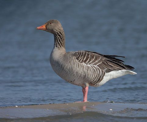 Graugans, Anser anser, Greylag goose - 1