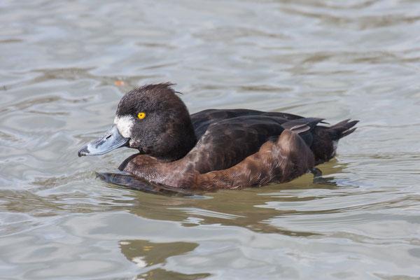 Reiherente,  Aythya fuligula, Tufted Duck - 4