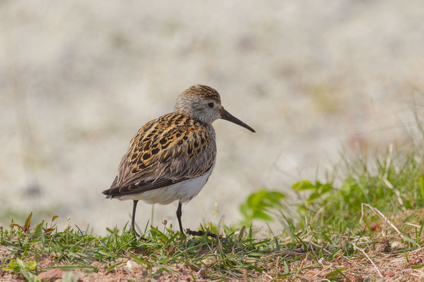 Alpenstrandläufer (Calidris alpina) - 5