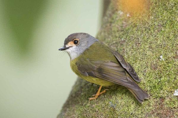 Fahlgesichtschnäpper, pale-yellow robin, Tregellasia capito - 1
