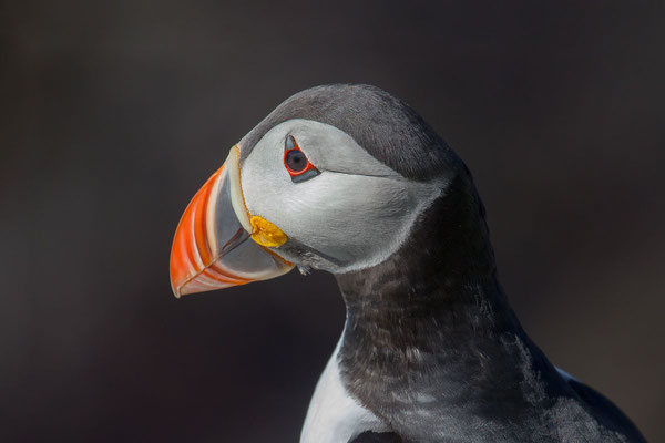 Papageitaucher (Fratercula arctica) - 4