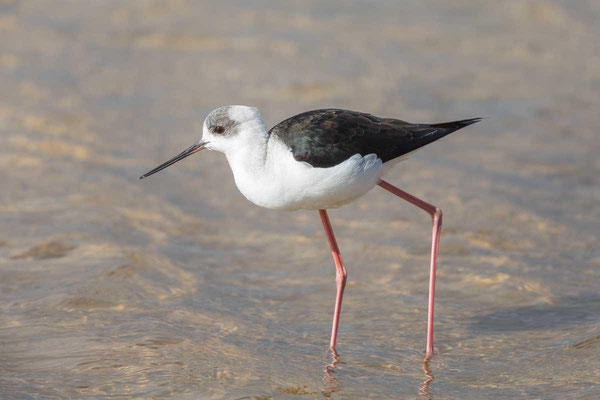 Weißgesicht-Stelzenläufer, white-headed stilt, Himantopus leucocephalus - 9