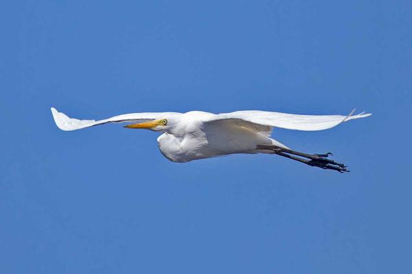 Mittelreiher (Ardea intermedia) - Intermediate egret - 6