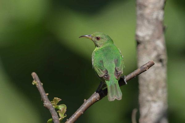 Kappennaschvogel (Chlorophanes spiza) - Green Honeycreeper - 3