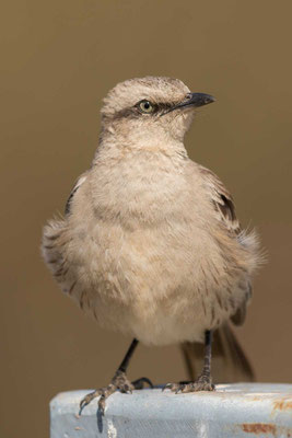 Camposspottdrossel (Mimus saturninus) - Chalk-browed Mockingbird - 4