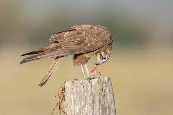Habichtfalke, Brown falcon, Falco berigora - 3