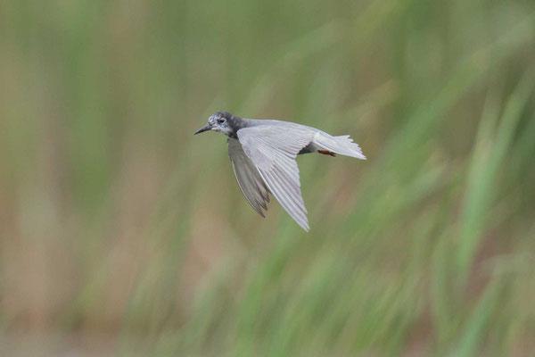 Trauerseeschwalbe (Chlidonias niger) -3
