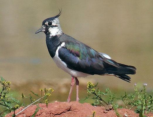 Kiebitz (Vanellus vanellus)-cc-2