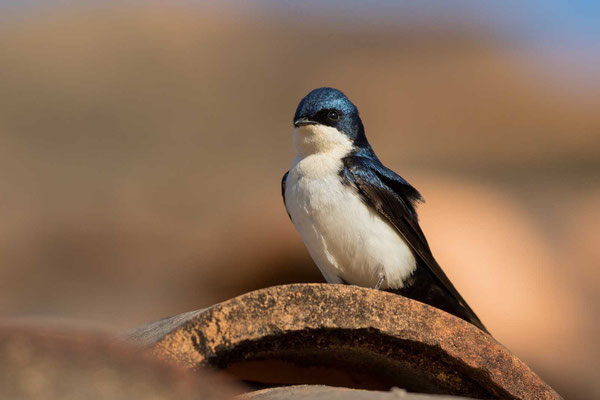 Schwarzsteißschwalbe, Notiochelidon cyanoleuca, Blue-and-white swallow - 1