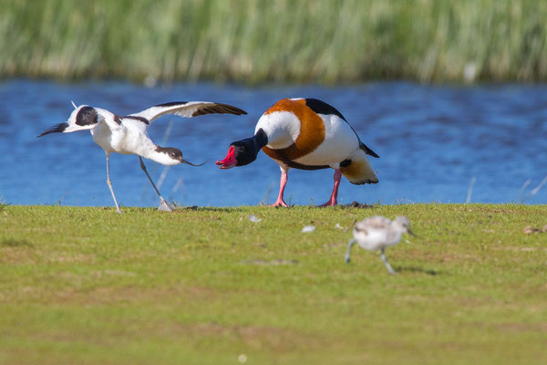 Säbelschnäbler (Recurvirostra avosetta) - 15