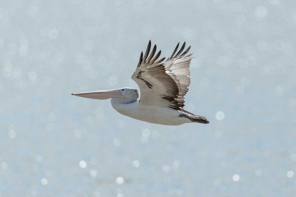 Brillenpelikan (Pelecanus conspicillatus) - Australian pelican - 8