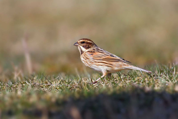 Rohrammer (Emberiza schoeniclus) - Reed Bunting - 3