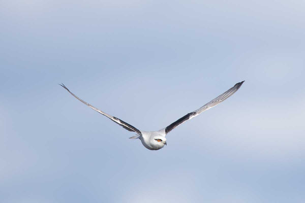 Australischer Gleitaar, Black-shouldered Kite, Elanus axillaris - 3