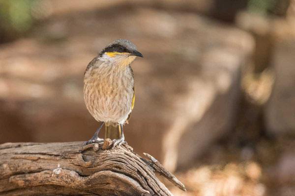 Pfeifhonigfresser Singing Honeyeater - Gavicalis virescens - 5