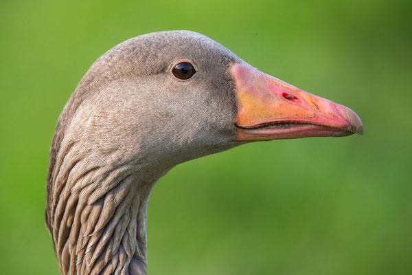 Graugans, Anser anser, Greylag goose - 4