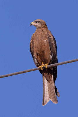 Schwarzmilan,  Black kite, Milvus migrans - 6
