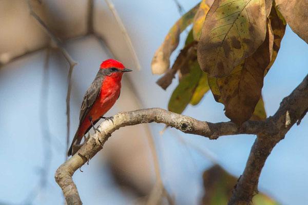 Rubintyrann (Pyrocephalus rubinus); Vermilion Flycatcher - 2