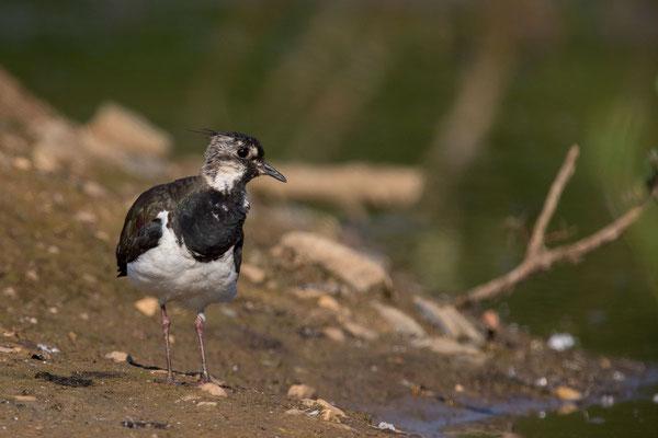 Kiebitz (Vanellus vanellus) - 7