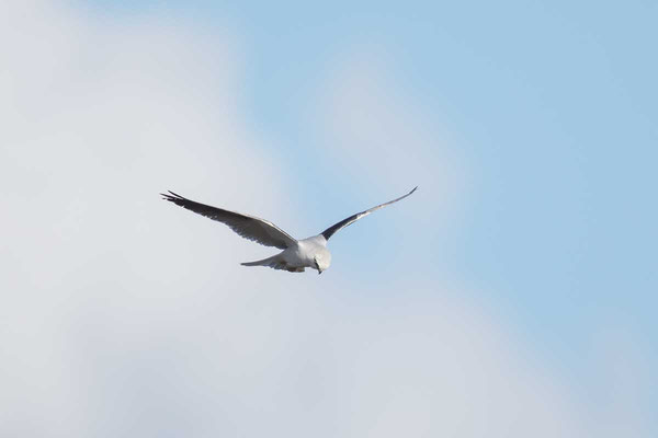 Australischer Gleitaar, Black-shouldered Kite, Elanus axillaris - 1