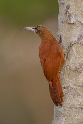 Fuchsroter Baumsteiger (Xiphocolaptes major) - Great Rufous Woodcreeper - 3