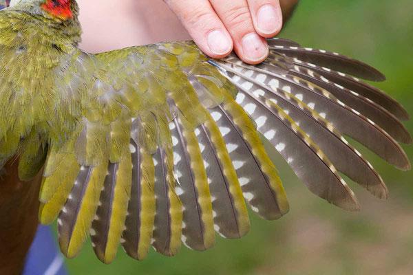 Handschwinge eines männlichen Grünspechts (Picus viridis) - 3