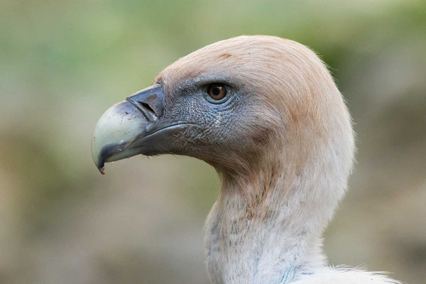 Gänsegeier (Gyps fulvus) - Griffon Vulture - 5