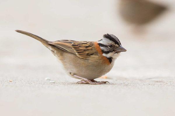 Morgenammer (Zonotrichia capensis) - Rufous-collared sparrow - 1