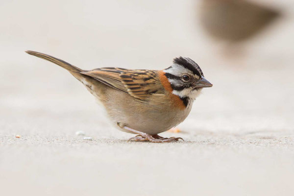 Morgenammer (Zonotrichia capensis) - Rufous-collared sparrow - 1
