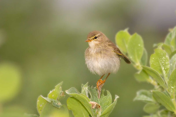 Fitis (Phylloscopus trochilus) - Willow Warbler - 2
