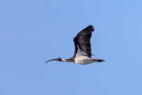 Stachelibis (Threskiornis spinicollis) - Straw-necked ibis - 3