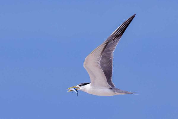 Eilseeschwalbe (Thalasseus bergii) - Greater crested tern - 12