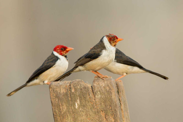 Mantelkardinal (Paroaria capitata) - Yellow-billed Cardinal - 4