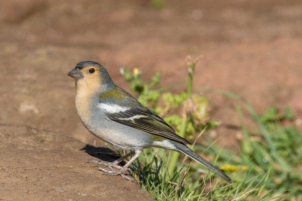 Madeira-Buchfink (Fringilla coelebs maderensis) - Madeiran chaffinch - 4