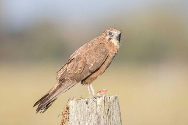 Habichtfalke, Brown falcon, Falco berigora - 6