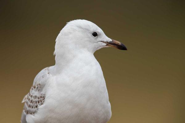Silberkopfmöwe (Chroicocephalus novaehollandiae) - Silver gull - 9