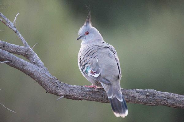 Spitzschopftaube (Ocyphaps lophotes) - Crested pigeon - 1
