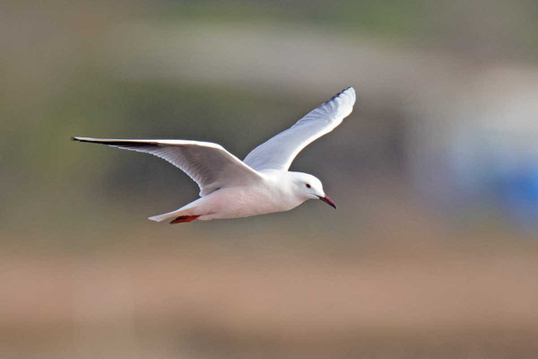Dünnschnabelmöwe, Slender-billed gull, Chroicocephalus genei - 1
