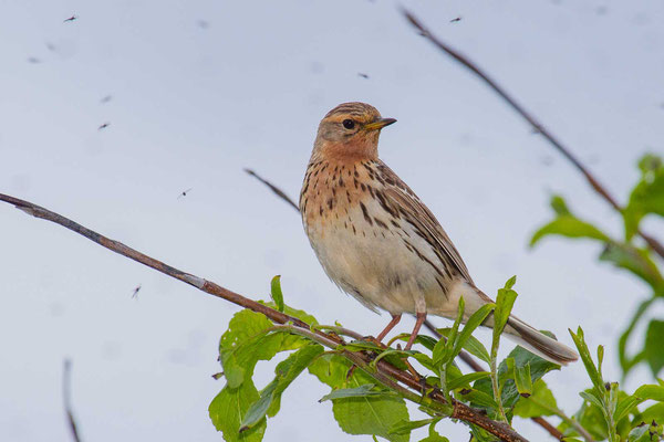 Rotkehlpieper (Anthus cervinus) - Red-throated Pipit - 8