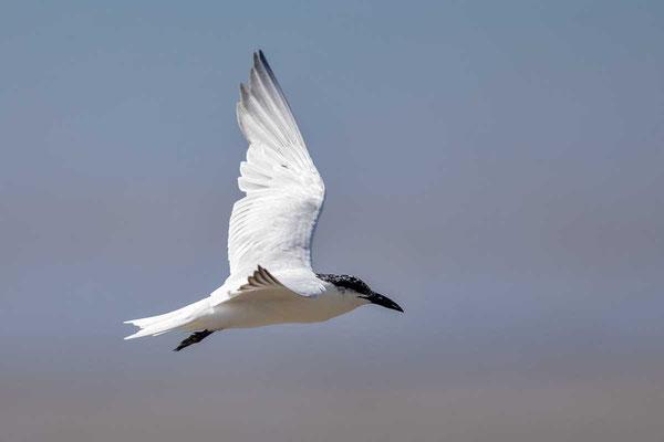 Australische Lachseeschwalbe (Gelochelidon macrotarsa)  - Australian Gull-billed Tern - 1
