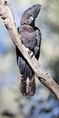 Banks-Rabenkakadu,  Red-tailed black cockatoo, Calyptorhynchus banksii - 5