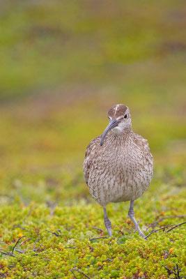 Regenbrachvogel (Numenius phaeopus) - 3