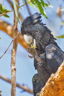 Banks-Rabenkakadu,  Red-tailed black cockatoo, Calyptorhynchus banksii - 3