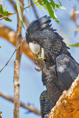 Banks-Rabenkakadu,  Red-tailed black cockatoo, Calyptorhynchus banksii - 3