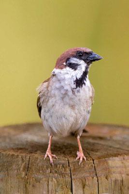 Feldsperling (Passer montanus) - Tree Sparrow - 10
